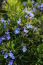 Rosemary Seeds | Rosemarinus Officinalis Seeds | 500 seeds - $36.10