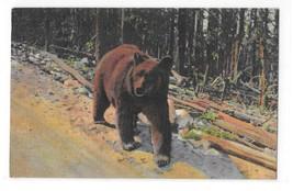 Bear Yellowstone National Park Vintage Curteich Animal Postcard - $4.99