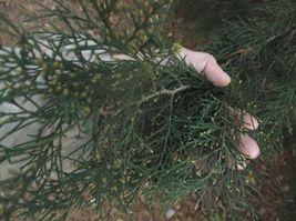 Eastern red cedar cuttings Juniperus virginiana - $19.98