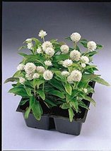 50 Seeds of Gomphrena Gnome Series White Annual - $16.83