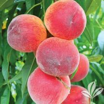 Sugar Giant Peach Tree Hardy Established  1 Gallon Pot  1 Plant - $63.99