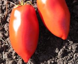 Non GMO -30 Seeds Polish Paste Tomato Heirloom Vegetable  - $3.99