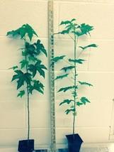 Sweetgum tree (Liquidambar styraciflua) image 2