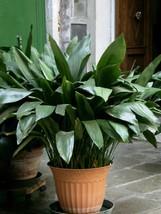 One Plant Aspidistra tonkinensis Live Plant  - $26.99
