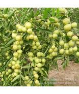 20Pcs Giant Sweet Jujube planting Bonsais Fruit tree plants Rare Exotic ... - $6.90