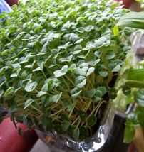 Chia Salvia hispanica 1000 seeds * Non GMO * ez grow * CombSH E24 - $4.95