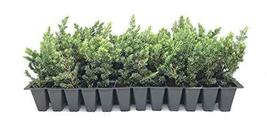 "Juniper Blue Pacific - 40 Live Plants - 2"" Pot Size - Evergreen Ground Cover 'Sh - $112.98"