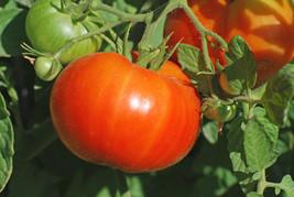 500 Beefsteak Tomato Heirloom Seeds lycopersicum + Gift - COMB S/H - $0.99