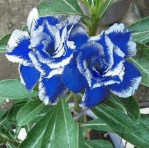 1 Seed Desert Rose Blue with White Side Flower Adenium Obesum Seeds - $3.49