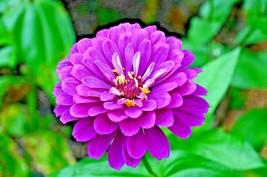 """1001+LAVENDER ZINNIA Flower Seeds Large 4-5"""" Flowers Butterflies Garden ... - $8.50"""