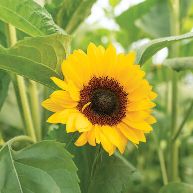 Procut Orange Sunflower Seeds, Sunflower Seeds - $21.00
