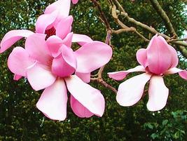 10pcs Very Graceful Pink Yulan Magnolia Big Blooming Fragrant Shrub Flowers IMA1 - $13.99