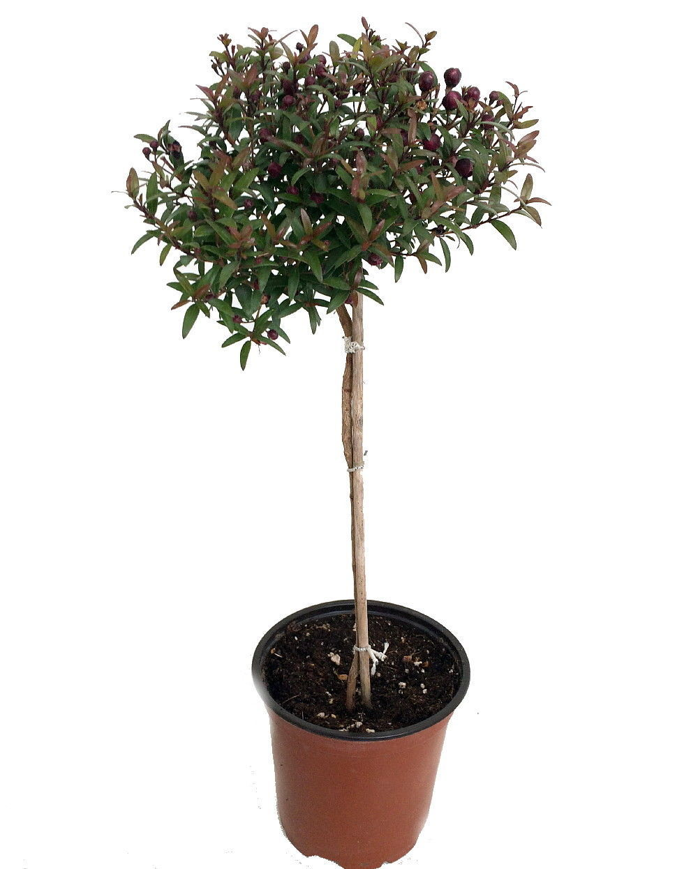 "Biblical Myrtle Herb Plant - Myrtus - Ancient Herb - 4.5"" Pot - Topiary"