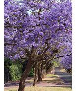 Live Plant - Blue Jacaranda Tree .Jacaranda mimosifolia - Gardening - $81.99