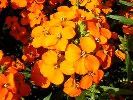20 WallFlower Seeds flower Seeds - $4.99
