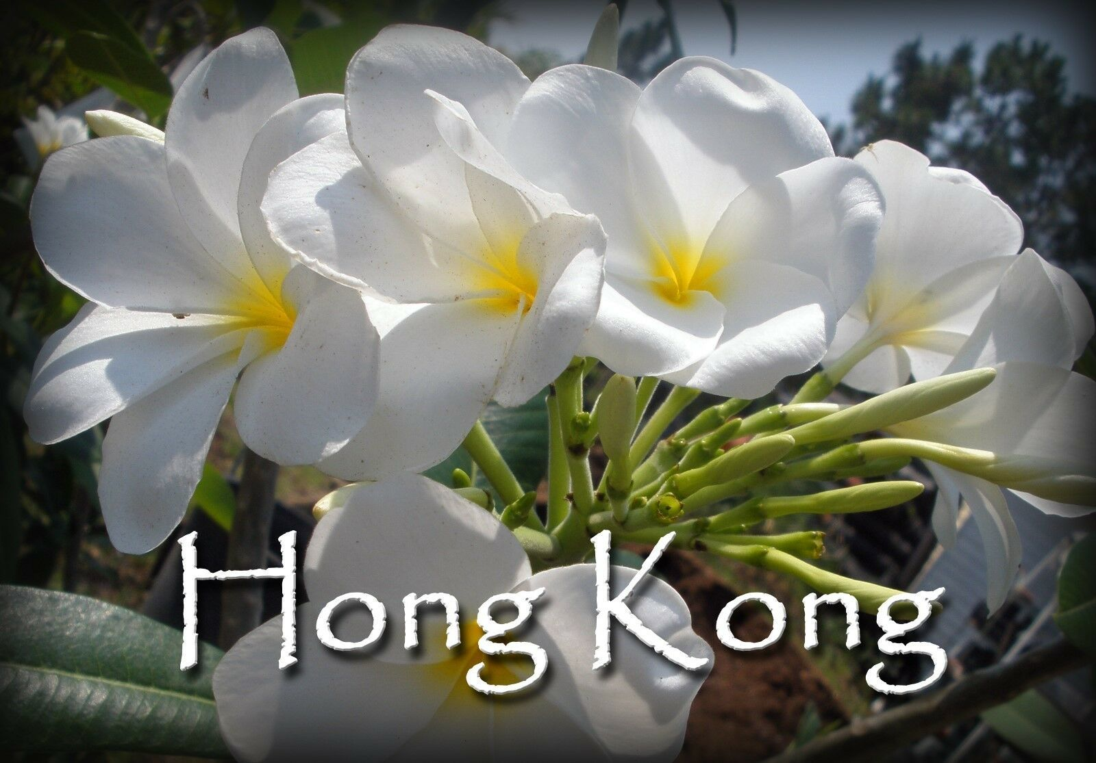 Primary image for Holiday SALE 3 White Hybrid fragrant *Hong Kong*  Rare Exotic Plumeria cuttings