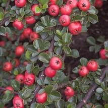 Cranberry Cotoneaster Bush Seeds (Cotoneaster apiculatus) 25 Seeds - $11.99
