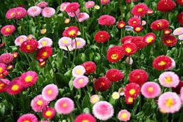 20 Pcs Seeds Habanera Mix Bellis Daisy - Perennial HH01 - $11.99