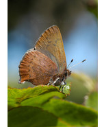 Western Brown Elfin butterfly, A. Rose Designs (tm) note card - $5.95+