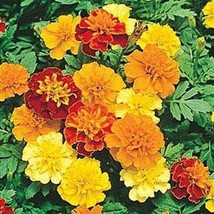 "1 OZ=8500+""Sparky Mix""DWARF FRENCH MARIGOLD Seeds Blooms Summer Fall Garden - $6.00"