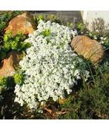 100Pcs mixed seed Genuine!Creeping Thyme bonsai or Blue ROCK CRESS plant  - $6.34