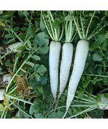 COOL BEANS N SPROUTS - Radish Seeds, Mooli Accord Radish, Radish Seeds, ... - $8.90