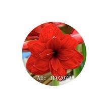 HAPPY FLOWER 2 Bulbs PENANGGUNGAN True Hippeastrum Rutilum Amaryllis Lov... - $1.78