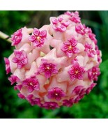 100Pc (Pink) Hoya Flower Seeds Rare Perennial Plant Hoya Carnosa Plante  - $4.94