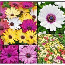 """African Daisy """"Cineraria Mix"""" Flower 200 Seeds #CDB03 - $14.17"""