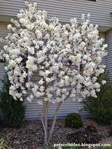Star Magnolia- Magnolia stellata image 4