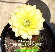 Echinopsis,Hybrid 'THE HILLS OF HOME',Plant,Cactus,NO,Trichocereus, Lobi... - $42.06