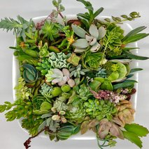 30 or 50 Assorted Succulent & Cactus Cuttings. Great for Terrariums, Mini Garden image 2