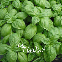 50pcs Genovese Basil Half-hardy Plants Annual Herb Flower Seeds Bonsai Seeds  - $7.55