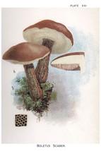 W. Hamilton Gibson: Boletus Scaber - Harper Publishers - 1895 - $12.82+