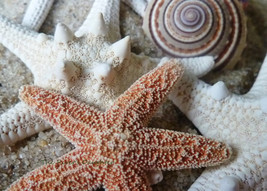 Starfish, Cape Cod, 5 x 7 Matted Photograph, Be... - $20.00