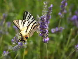 Tiger Butterfly in Lavender 5 x 7 Matted Photograph, Nature Decor, Digit... - $20.00