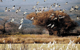 Fall Geese, Bird Photograph, 5 x 7 Matted Picture, Fall New Mexico, Alte... - $20.00