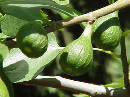 Fig Tree - 'Magnolia' -  Fruiting Fig Tree - $5.66