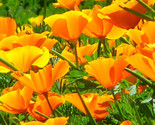 CALIFORNIA POPPY ORANGE Eschscholzia Californica - 50,000 Bulk Seeds