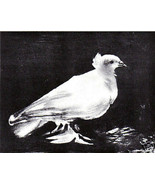 PABLO PICASSO SIGNED 1964 LITHOGRAPH w/COA £ symbol of peace. Dove Icon ... - $189.00