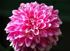 Rare Dahlia Seeds Chinese Flower Seeds Bonsai Plants for Garden 50PCS / PACK - $6.99