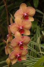Perennial Phalaenopsis Orchid Flower Seeds 1 Professional Pack, 100 Seeds / Pack - $6.55
