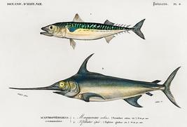 Atlantic Chub Mackerel & Swordfish - Fish Illustration Poster - $9.99+