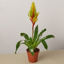 "Bromeliad Vriesea Energy - 4"" Pot - $22.50"
