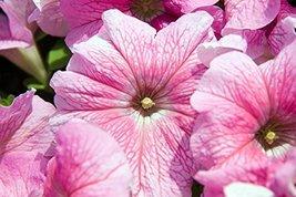 50 Seeds of Supercascade Pink Petunia - $17.72