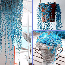 Round Pearl Chlorophytum Seeds - Blue String of Pearls Plant - 20 SEEDS - $3.84