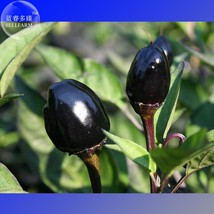 Hot Chilli Pepper - Black Olive Seeds, professional pack, 20 Seeds  - $3.99