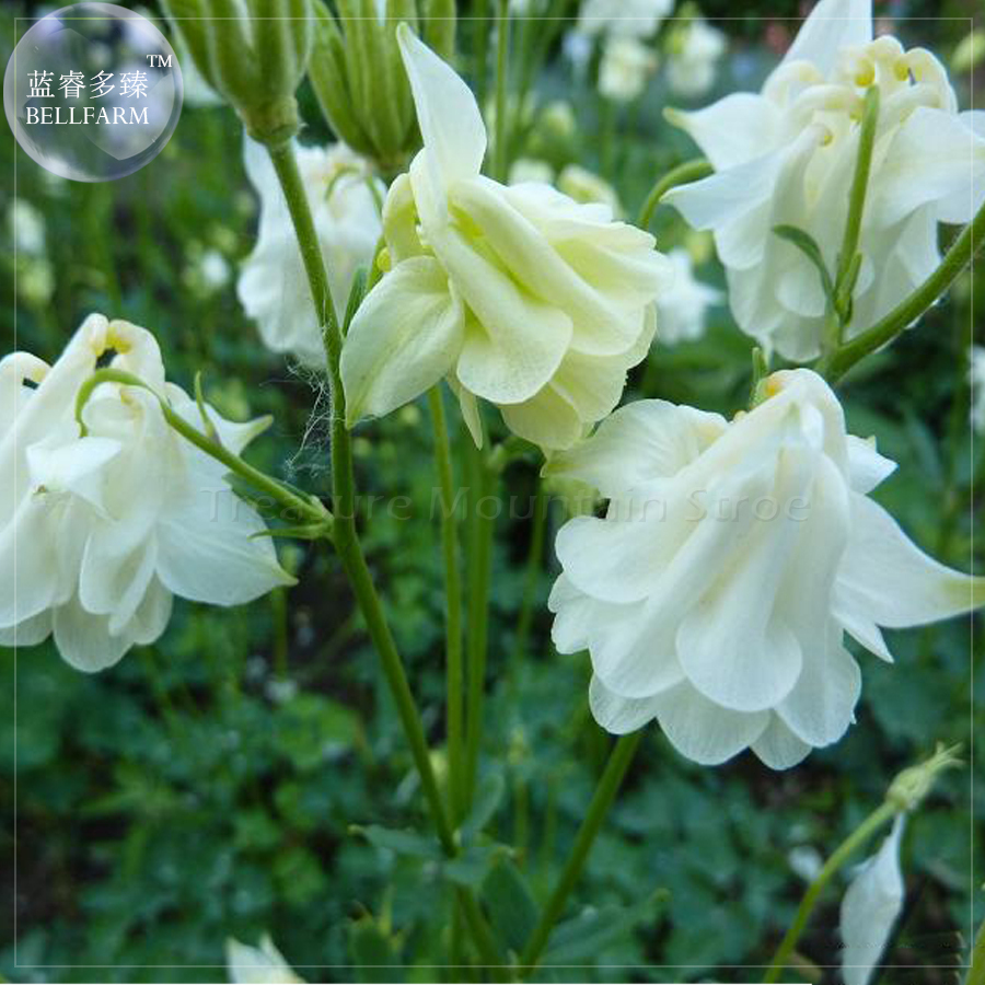 Primary image for BELLFARM Aquilegia snowballs 'Granny's bonnets' Seeds, 100 Seeds