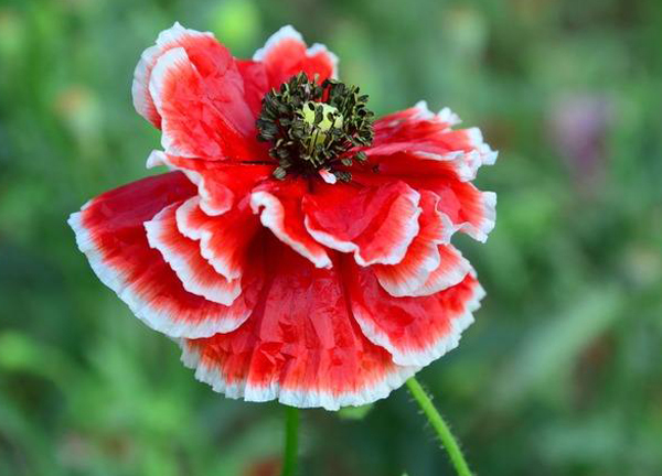 Primary image for Corn Poppy Corrugated Red Double Flowers, 100 Seeds,Original Pack,red big blooms