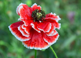 Corn Poppy Corrugated Red Double Flowers, 100 Seeds,Original Pack,red bi... - $4.12